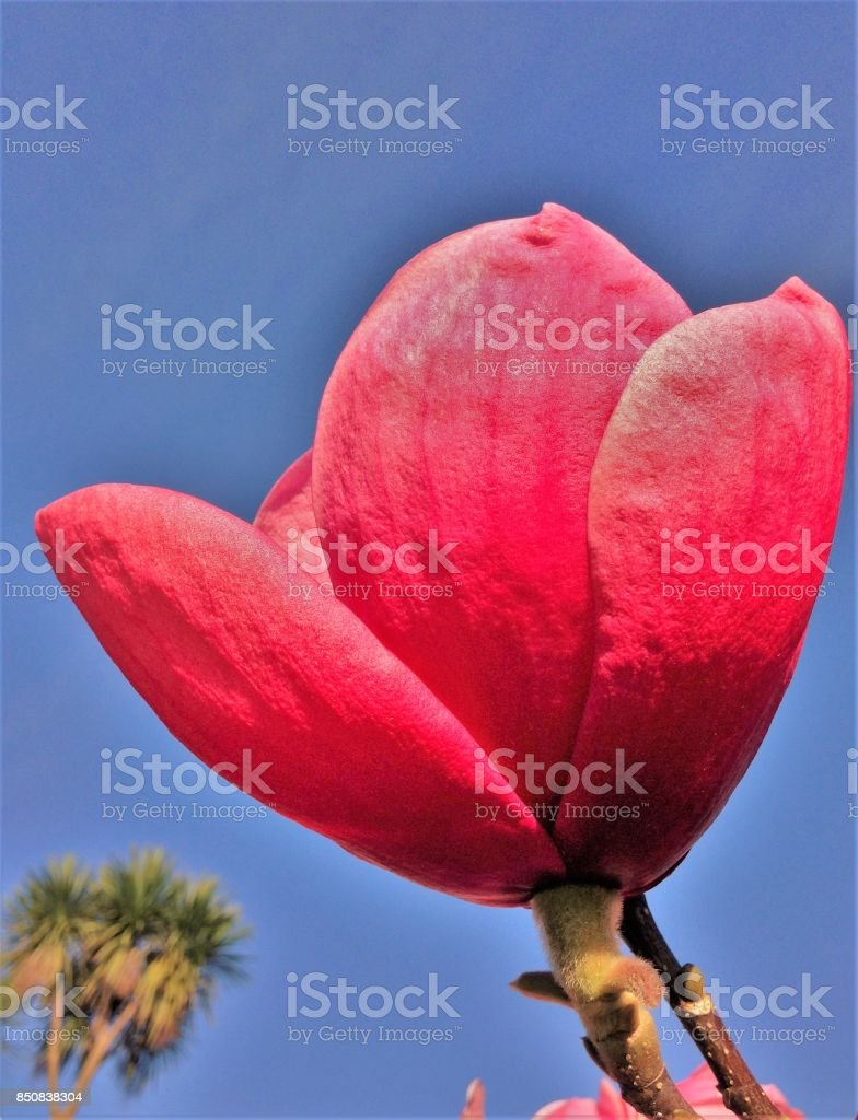 Deep pink colored flower  blue sky stock photo
