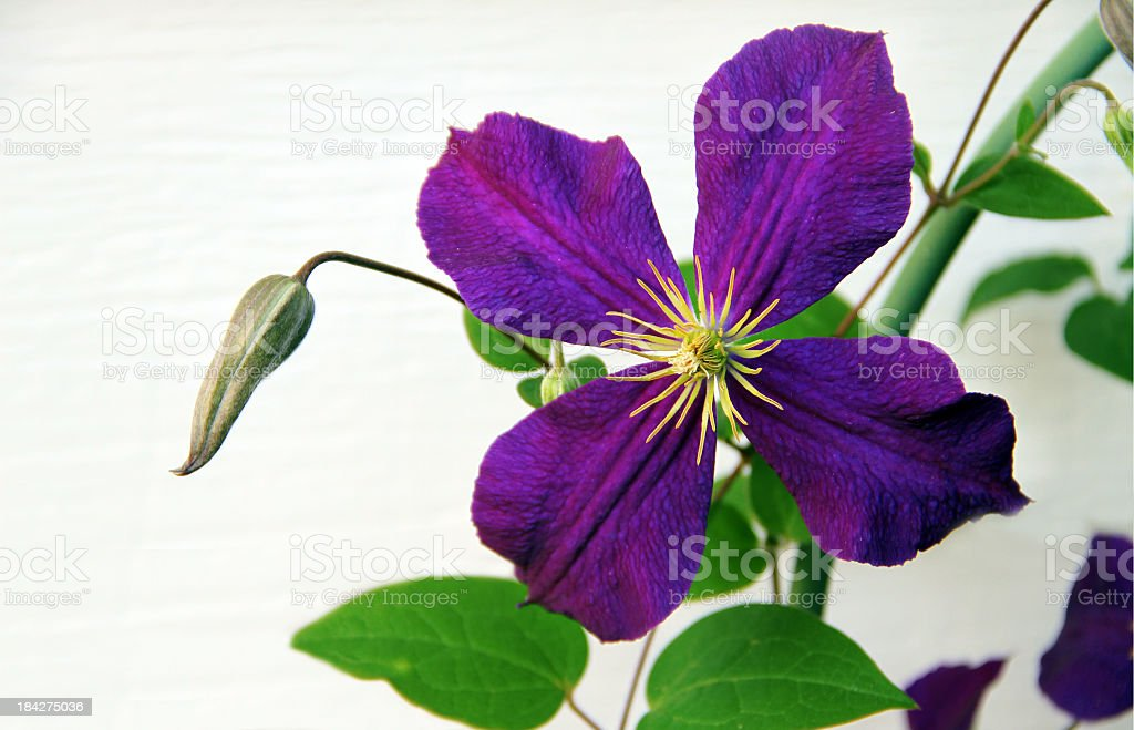 Deep Purple Clematis on Trellis royalty-free stock photo