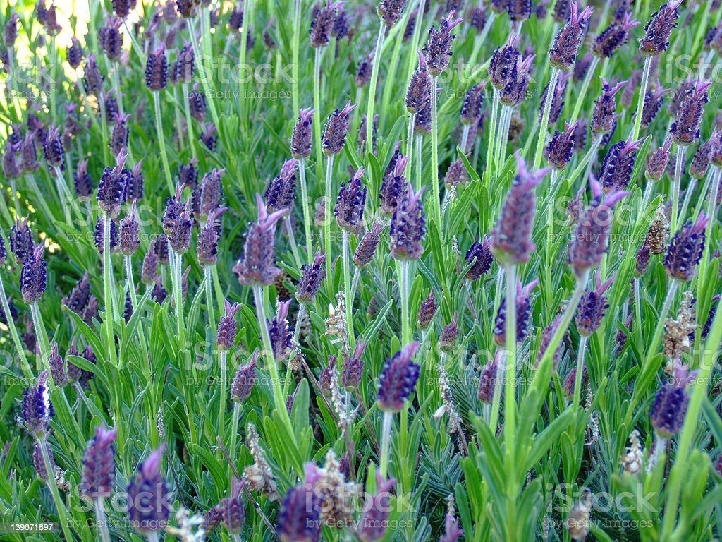 Deep purple lavender royalty-free stock photo