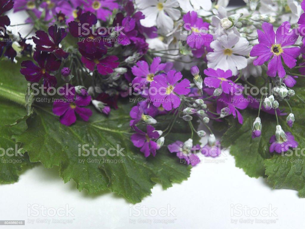Deep Purple Primulas royalty-free stock photo
