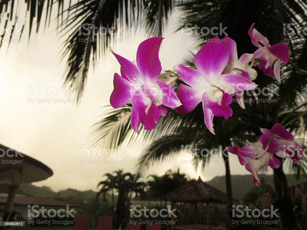 Deep Purple Thai Orchids in a rainstorm stock photo