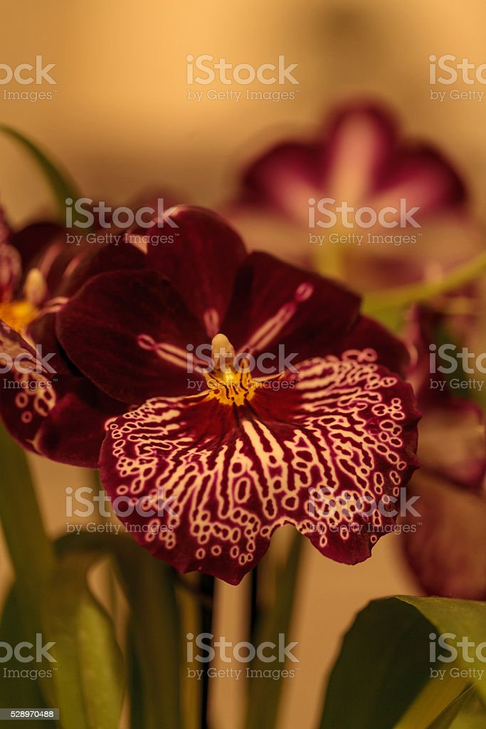 Deep red pattern on a white pansy orchid stock photo