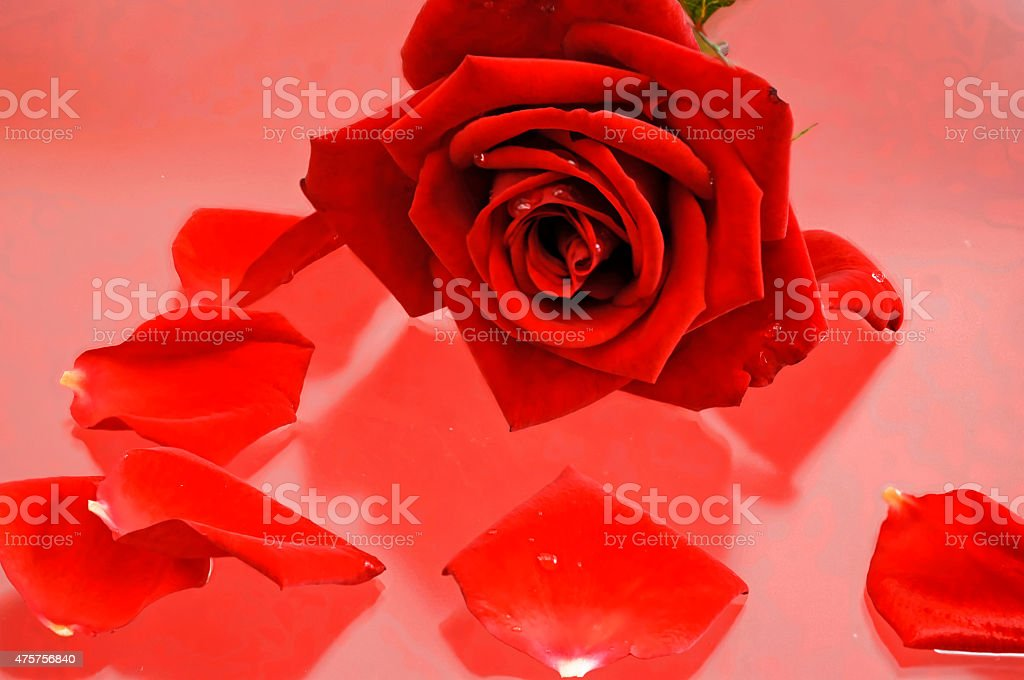 deep red rose and rose petals on a glass table stock photo