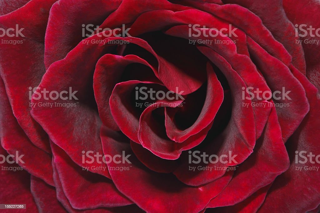 Deep red rose stock photo