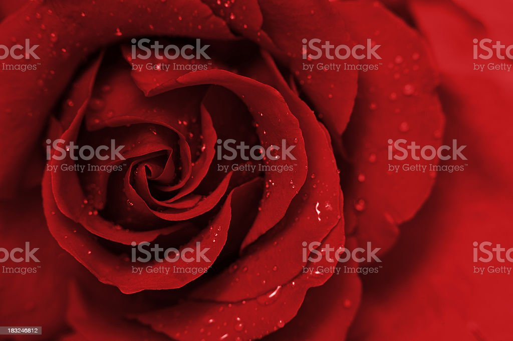 Deep Red Rose royalty-free stock photo