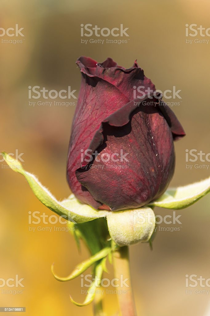 Deep red rosebud on mottled background royalty-free stock photo