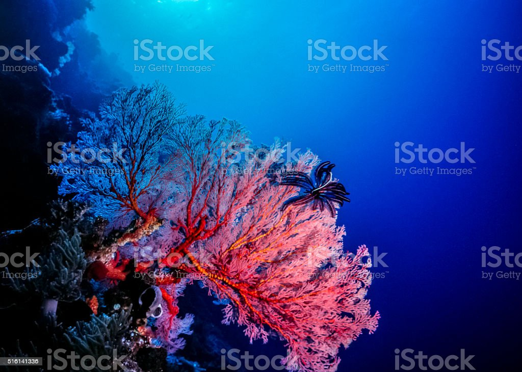 Deep water Gorgonians in South Pacific stock photo