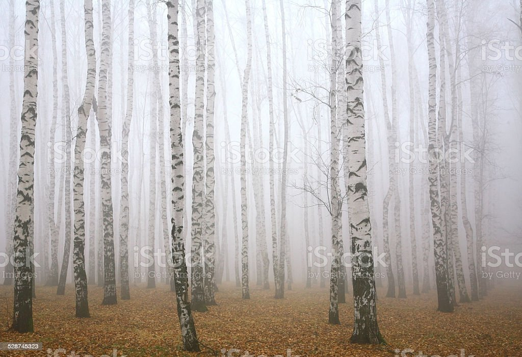 Deeply mist in the autumn birch forest stock photo