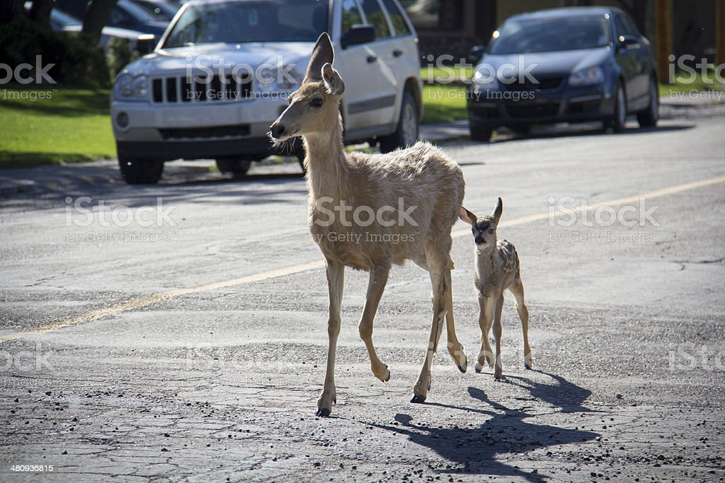 Deer along the road royalty-free stock photo