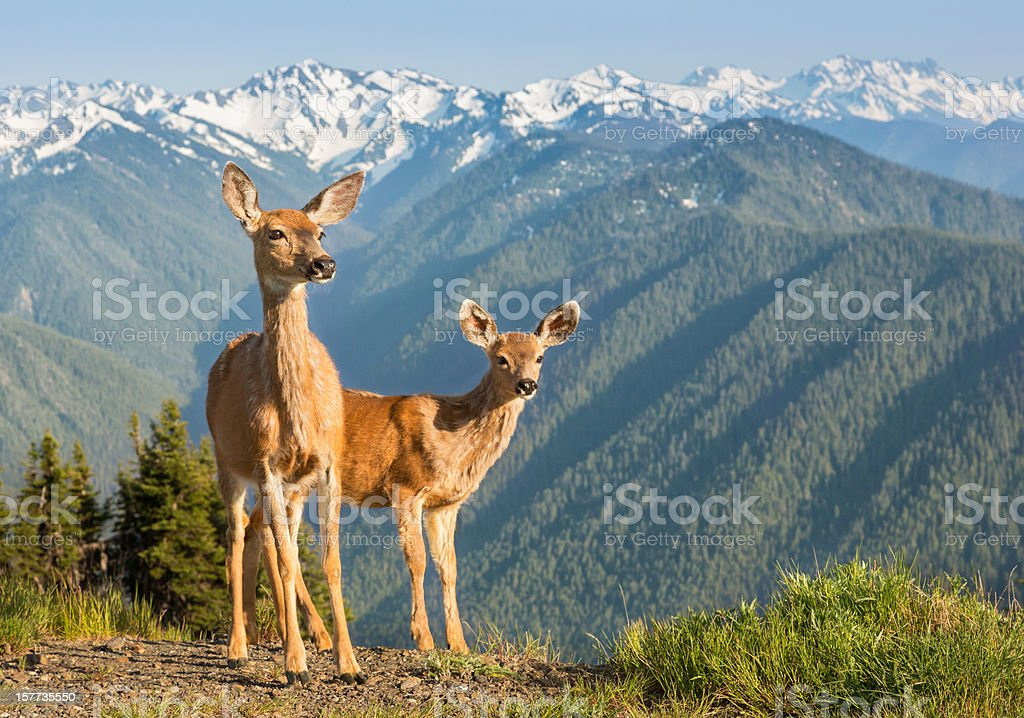 Deer and Mountains stock photo