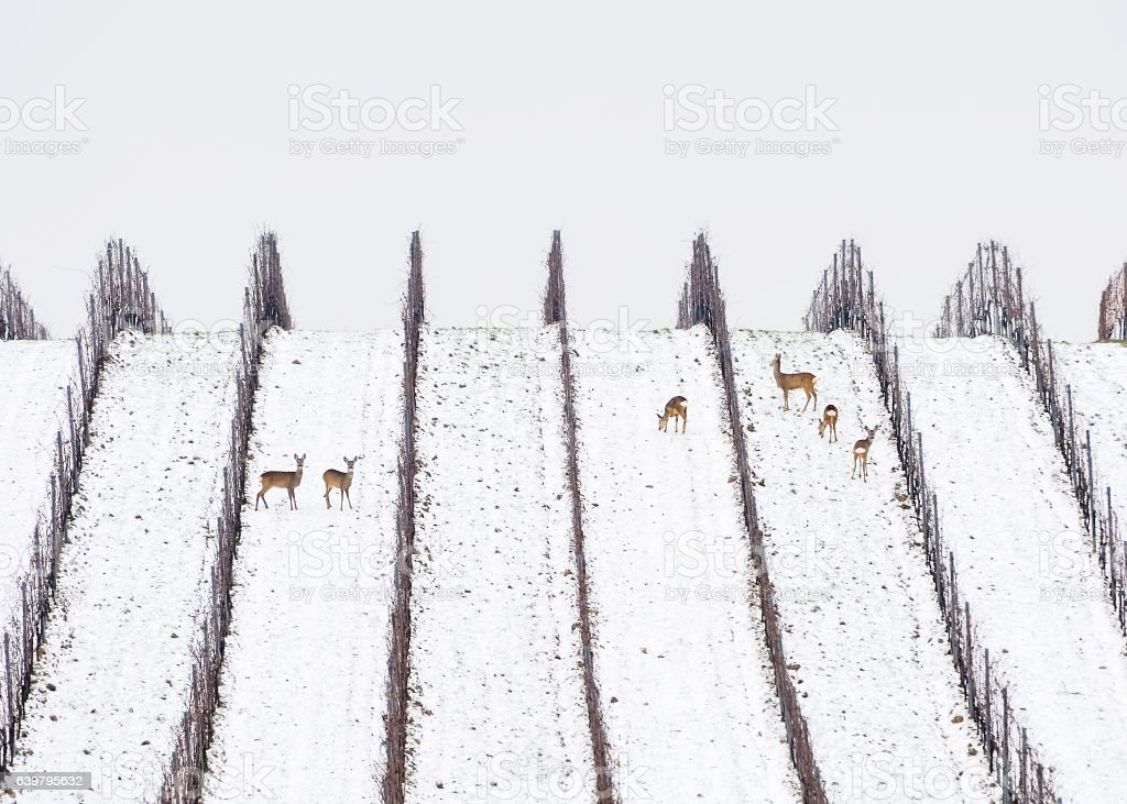 Rehe und Rehbock im Winter im Weingarten stock photo