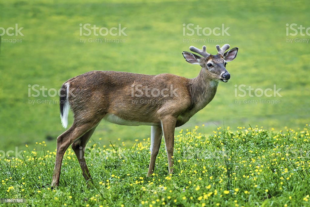 Deer and Springtime Wildflowers royalty-free stock photo