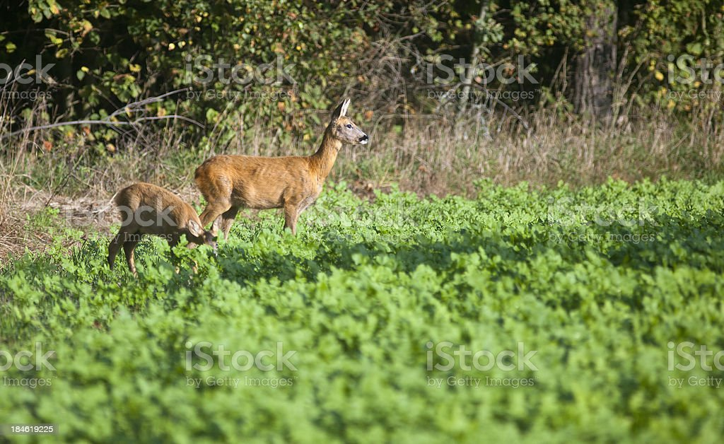 Deer and young stock photo