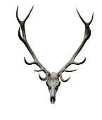 Deer antlers isolated white path animal skull XXL