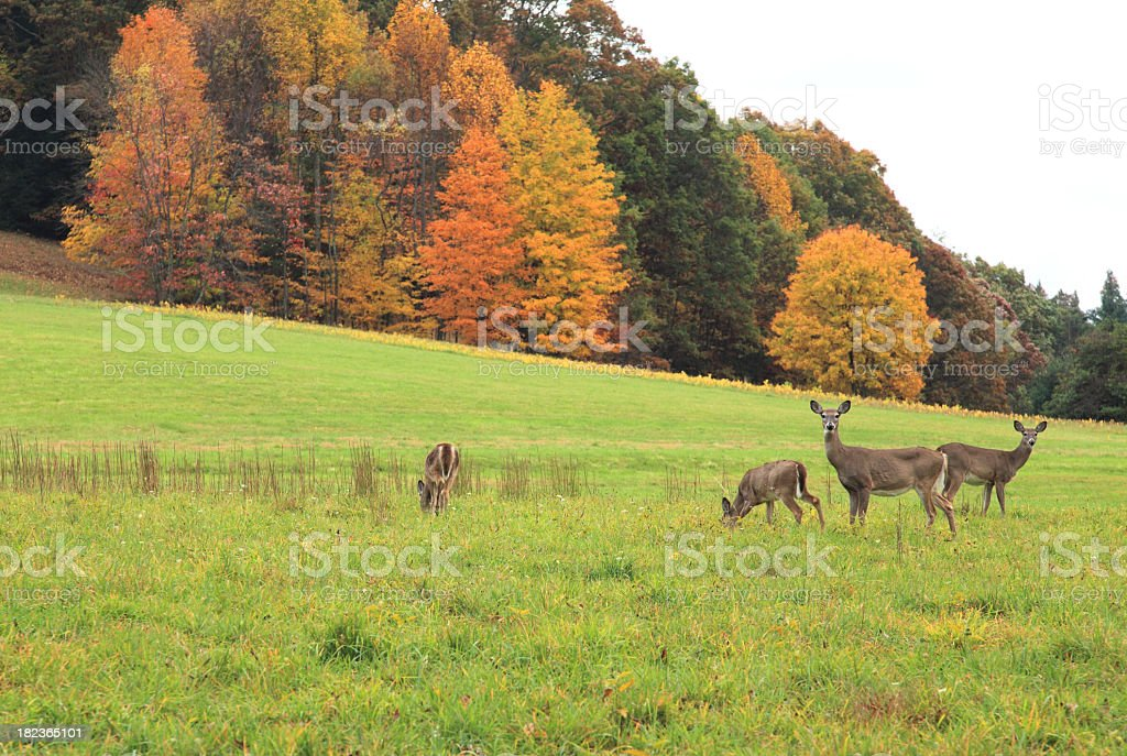 Deer at grass field with autumn trees at the background stock photo