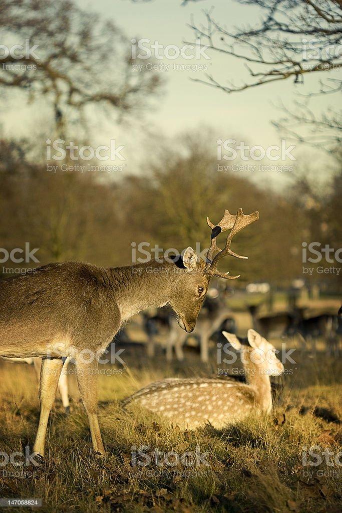 Cerfs dans Richmond Park 2 photo libre de droits