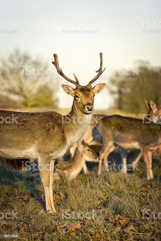 Cerfs dans Richmond Park photo libre de droits