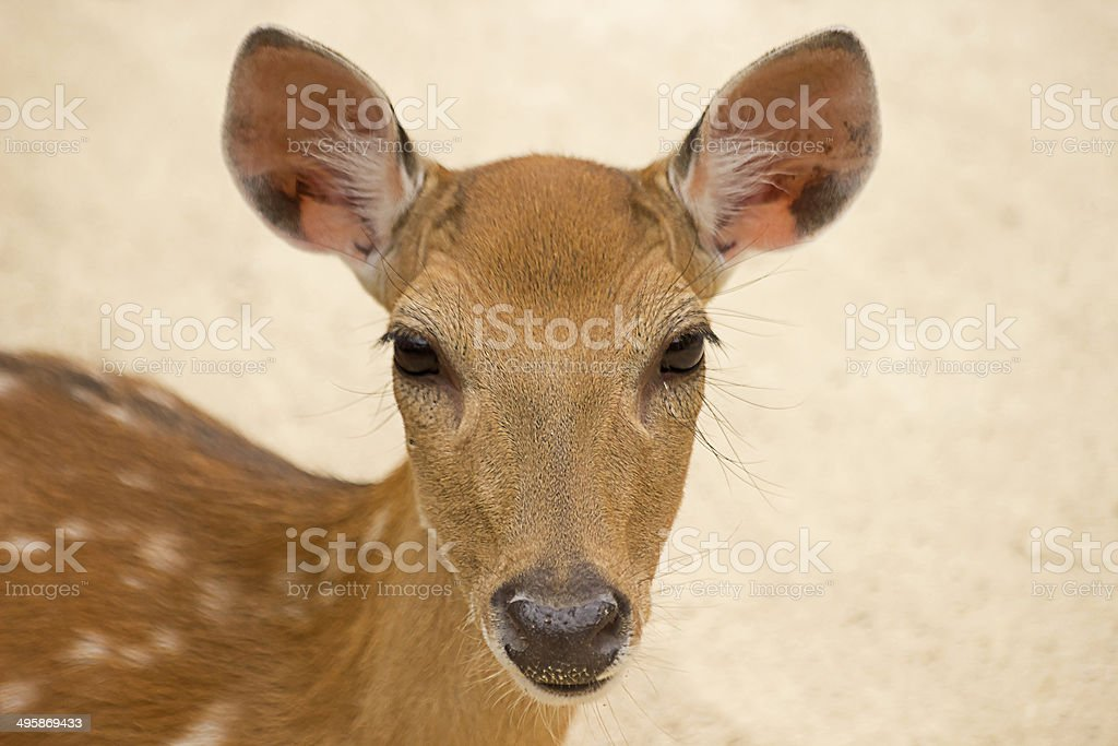 Deer at Seoul Children's Zoo royalty-free stock photo