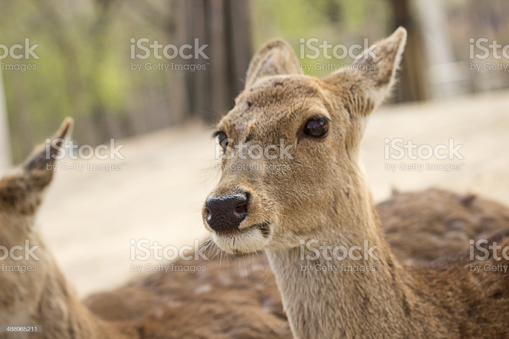 Deer at Seoul Forest royalty-free stock photo