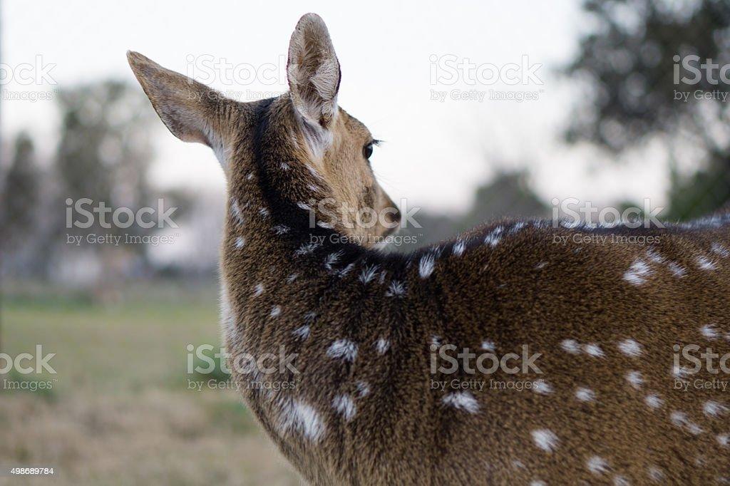 Deer back Animal print  Venado de espaldas stock photo