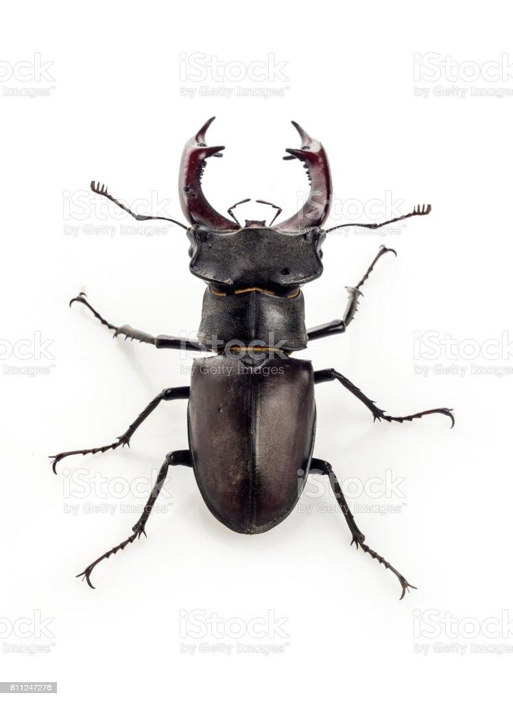 Deer beetle (Lucanus cervus) stock photo