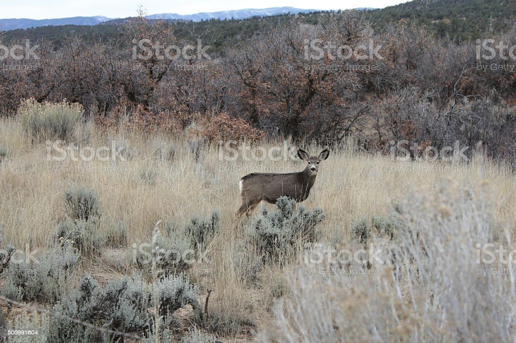 Deer behind sage brush stock photo