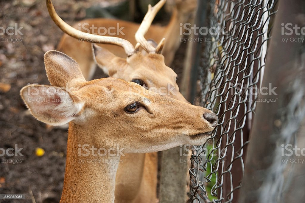 Deer behind the cage stock photo