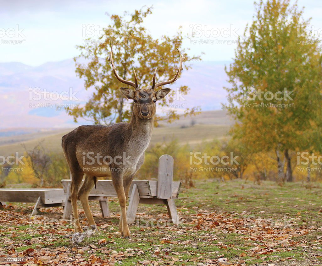 deer buck in an enclousure royalty-free stock photo