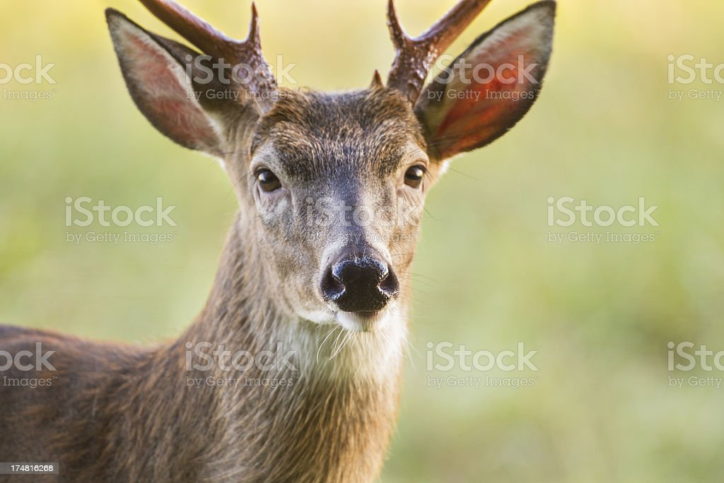 Deer Buck royalty-free stock photo