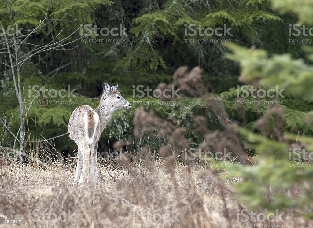 Deer by the trees. royalty-free stock photo