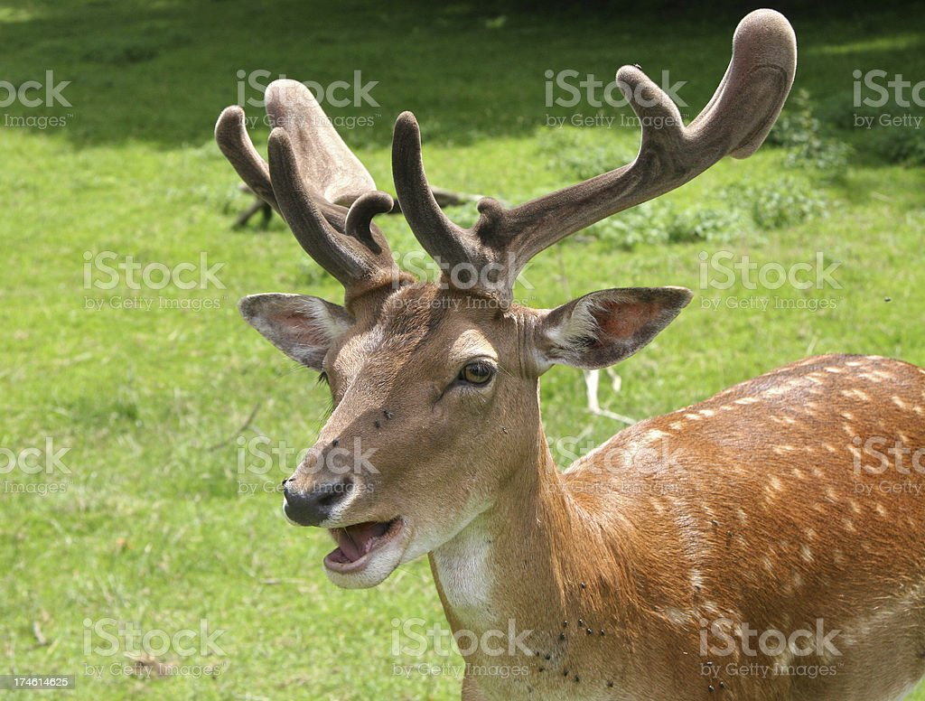 deer call royalty-free stock photo