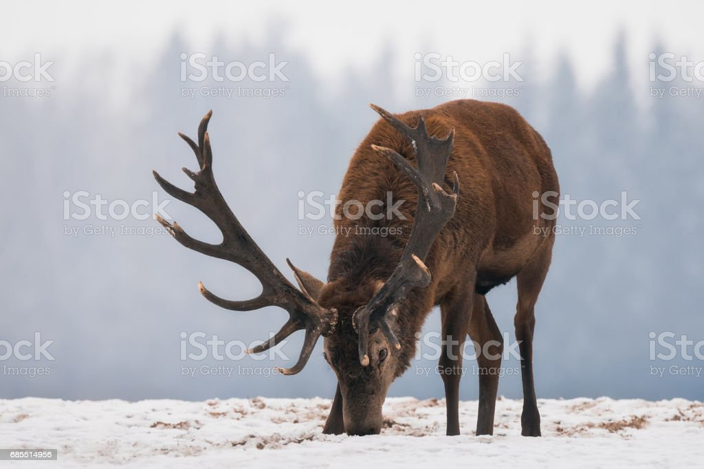 Deer close up.Single grazing adult Noble deer with big beautiful horns on snowy field on forest background.  European  wildlife landscape with snow and quietly standing roaring deer with big antlers. stock photo