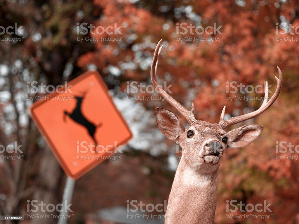 Deer Crossing stock photo