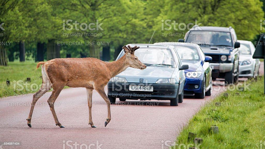 Deer crossing road as traffic waits. stock photo