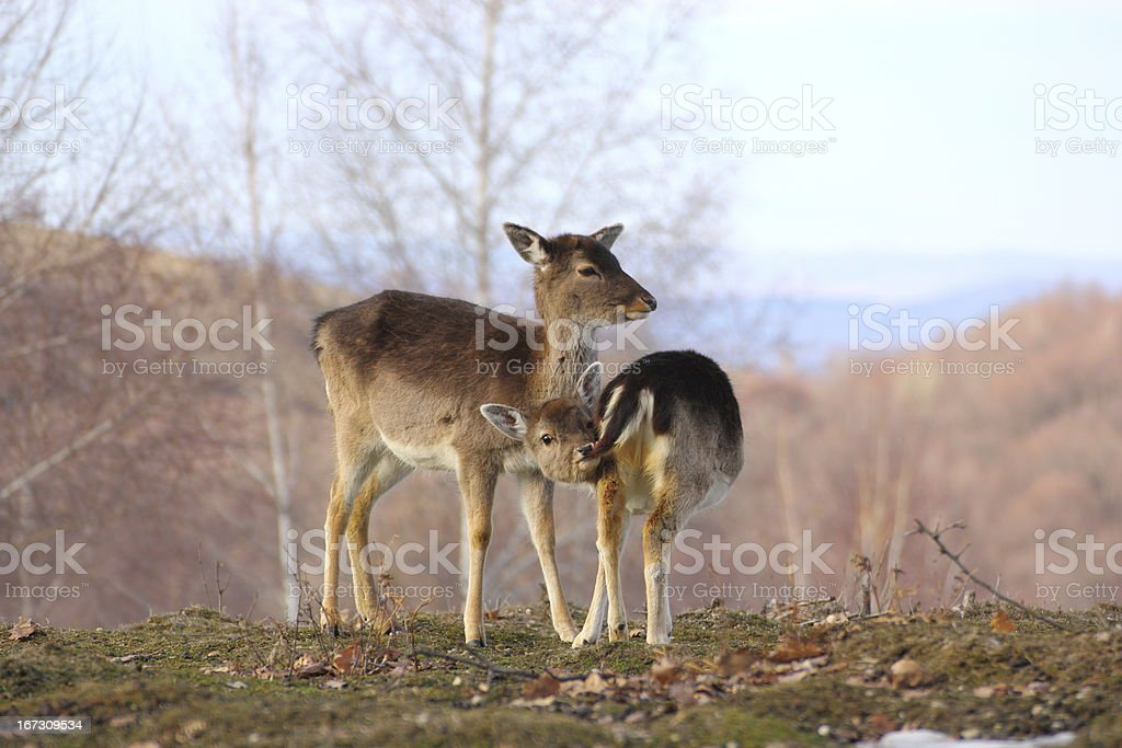 deer doe and calf royalty-free stock photo