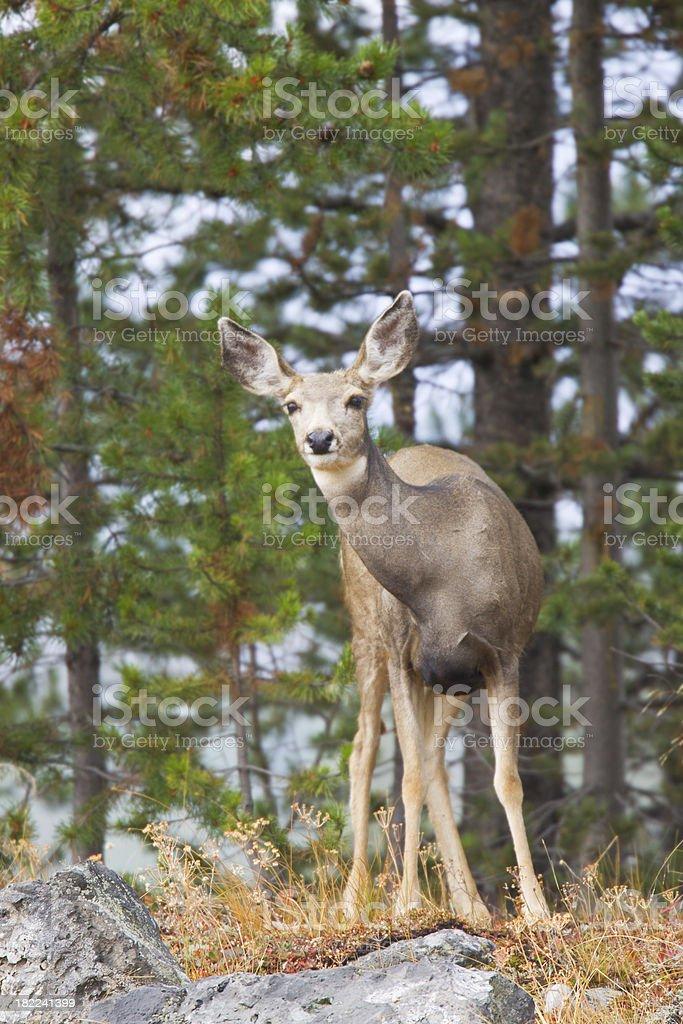Deer Doe in Forest stock photo