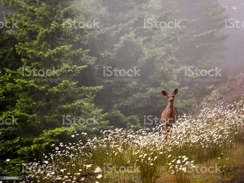 Deer Doe Standing Field Flowers Washington State Olympic National Park stock photo