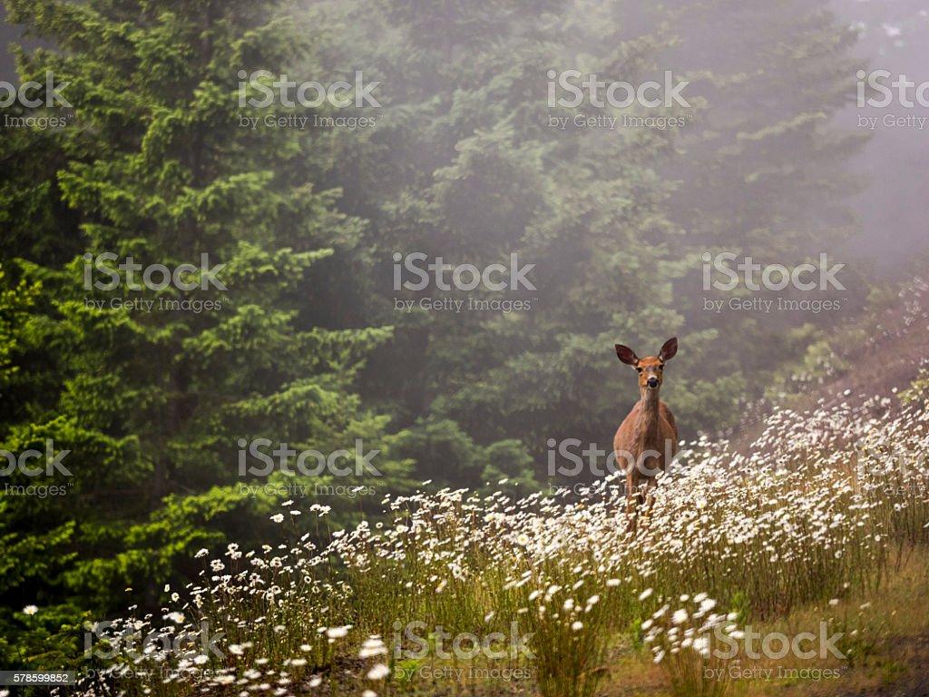 Deer Doe Standing Field Flowers Washington State Olympic National Park stock photo