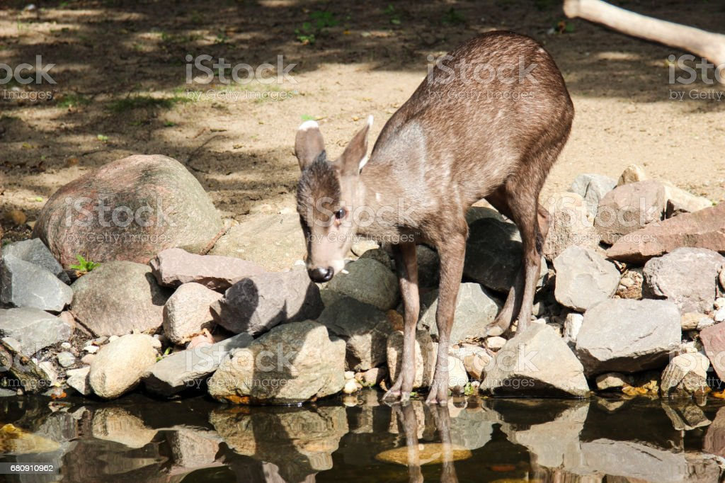 Deer drinking by the river stock photo