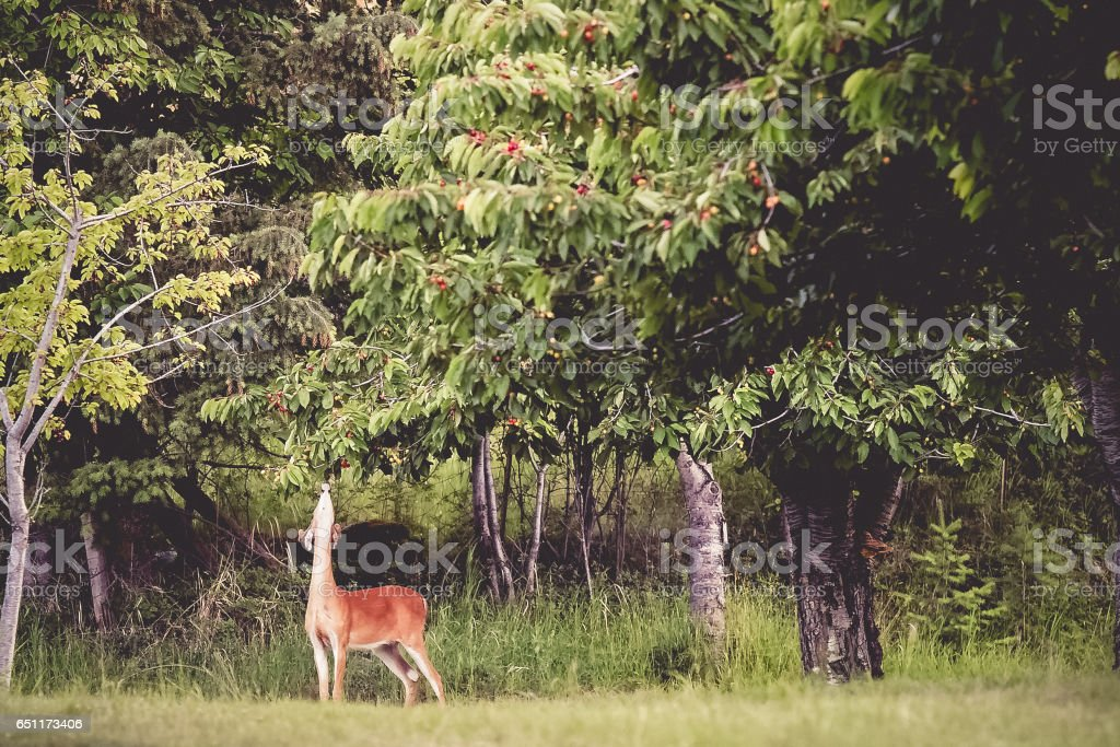 Deer Eating From Cherry Tree stock photo