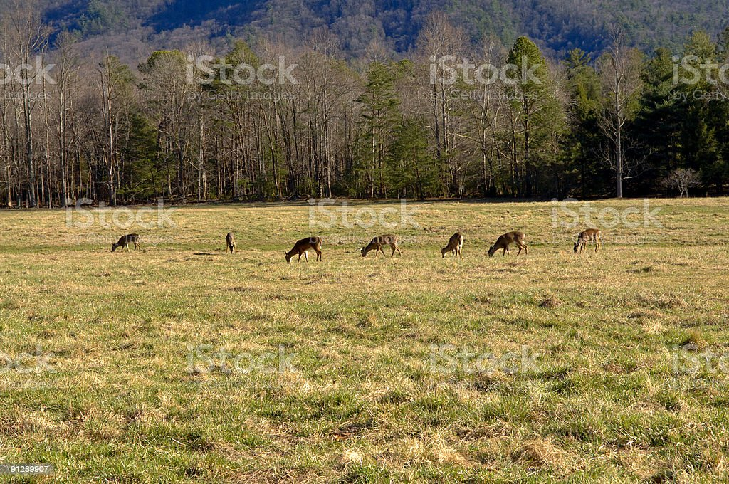 Deer eating grass in the field royalty-free stock photo