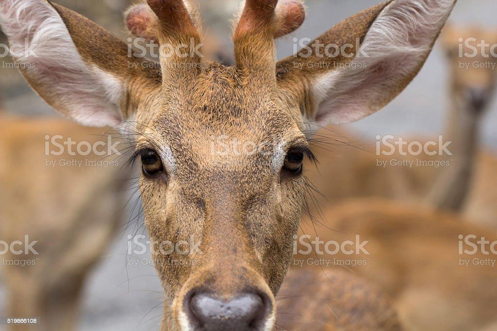 Deer face close up Looking stock photo