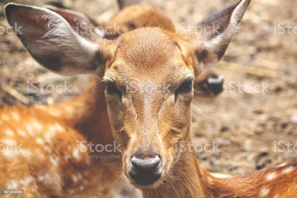 Deer face stock photo