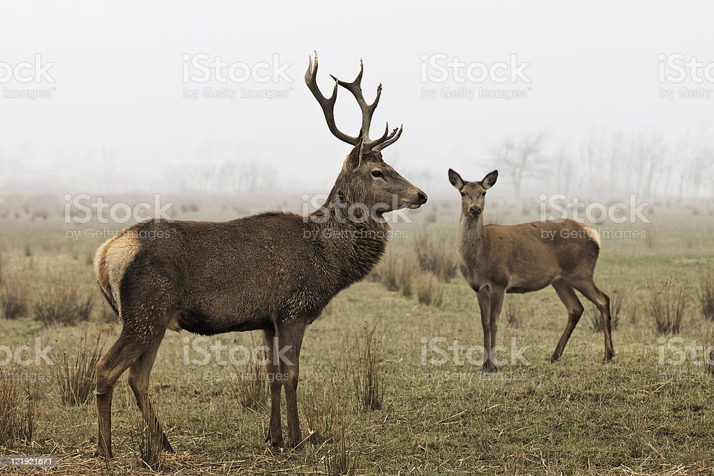 Deer family in field grazing grass stock photo