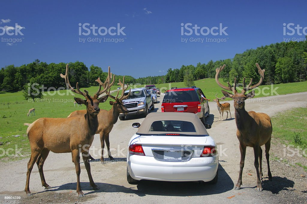 Deer family royalty-free stock photo