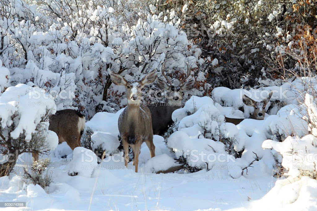 Deer family portrait, snow faces stock photo