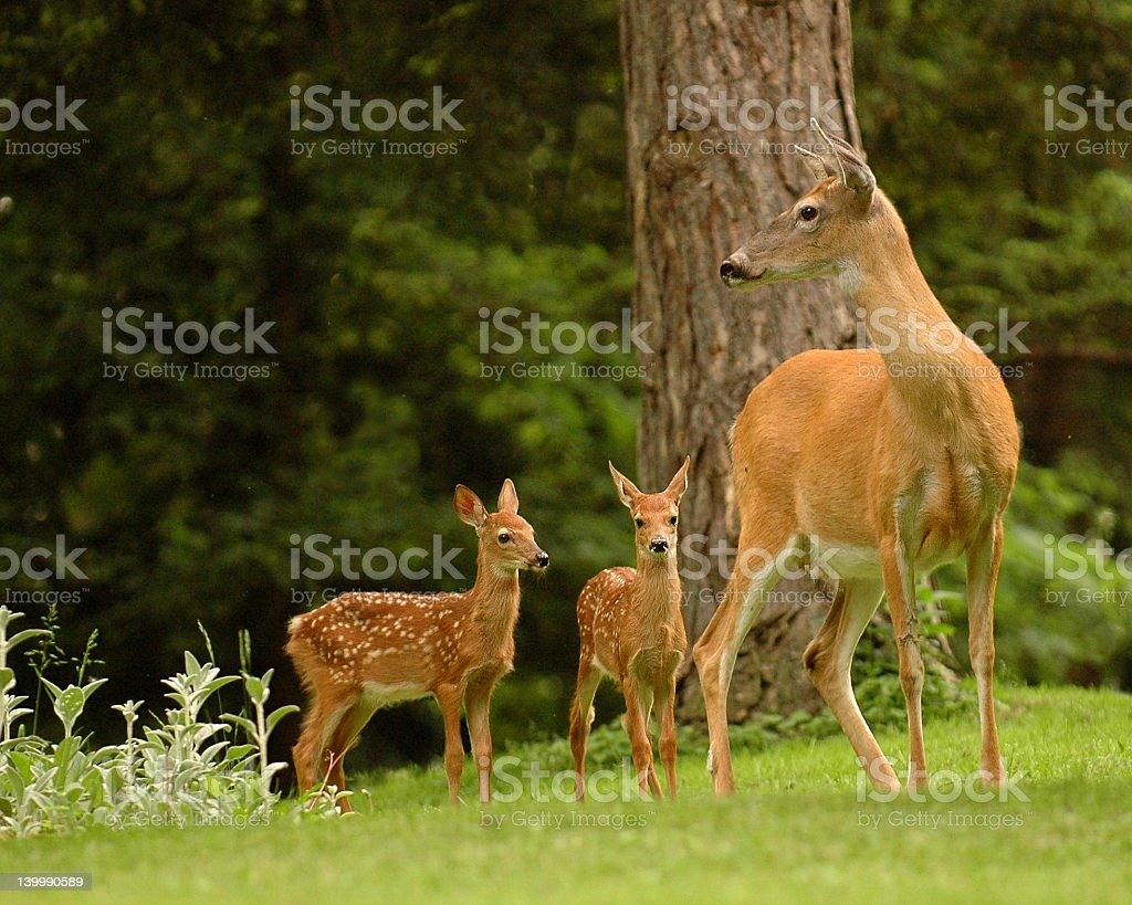 Deer family with mom and two babies stock photo