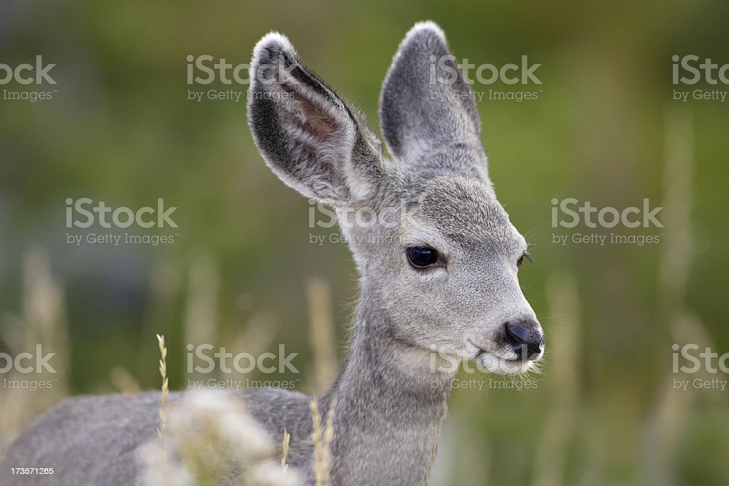 Deer Fawn in Meadow royalty-free stock photo