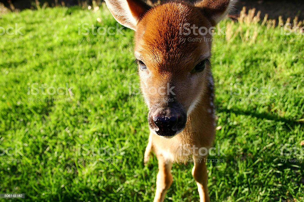Deer fawn looking directly to the camera stock photo