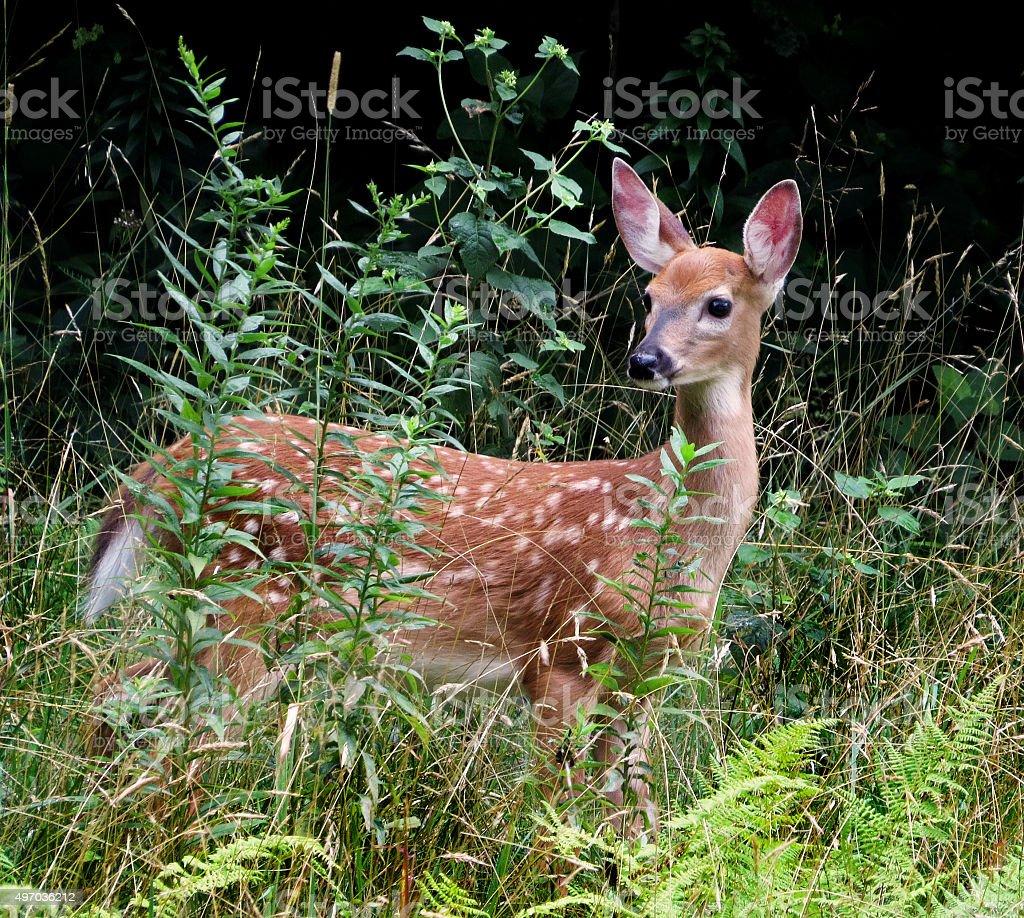 Deer Fawn Wild In Woods stock photo